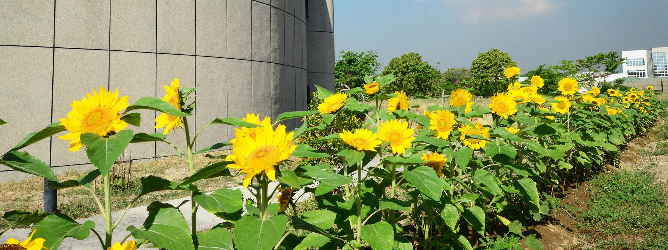 Sunflowers at NIP